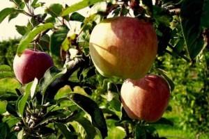 Η «19η Γιορτή Μήλου» στην Αγιά της Λάρισας